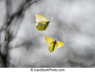 Two common brimstones flying in the air in spring in a...