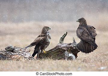 Two common buzzard (Buteo buteo) in winter, the meadow