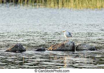 Common Gull in Water - Two Common Gull in Water Standing on...