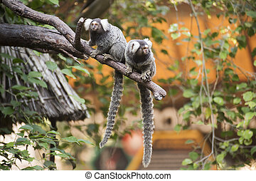 Two Common Marmoset on the tree - Close up Two Common...
