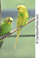 Two Common Parakeets with their Eyes Closed in a Tree