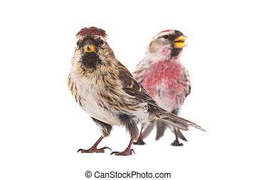two Common Redpoll