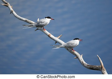 Two common tern on a tree branch