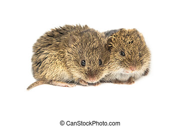 Two Common Vole mice - Two family members of Common Vole ...