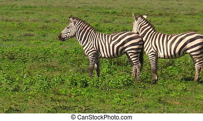 two common zebras in Ndutu