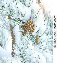 Two cones on pine tree covered with snow