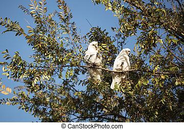 Two corellas in a tree