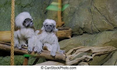 Two cotton-top tamarins grooming fur on the tree. Exotic...