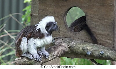 Two Cotton-top Tamarin's (Saguinus oedipus). Live in the...