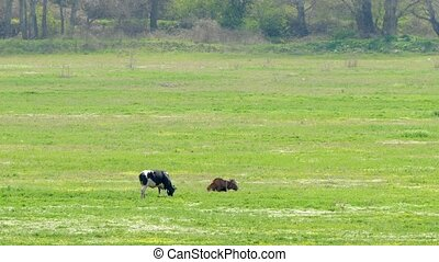 Two cows eat green grass on the field by the forest. - Two...