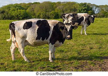 Two cows in a farm