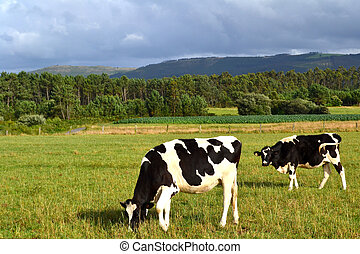 Two cows in a green field