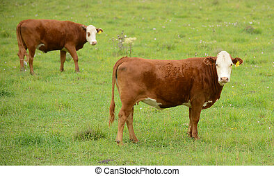 Two cows in a green pasture