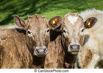 Two cows in a herd