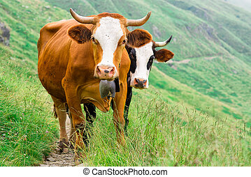 Two cows in a mountain pasture