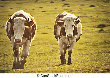 two cows in sunset light