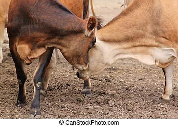 Two cows nudge each other - One cow turns to gently nudge...