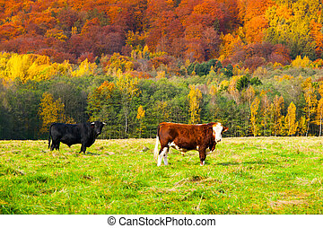 Two cows on a pasture in autumn landscape
