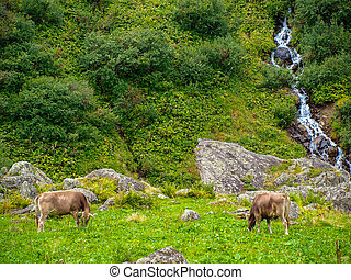 two cows on mountain pasture in the Alps of Switzerland