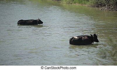 two cows standing in the river