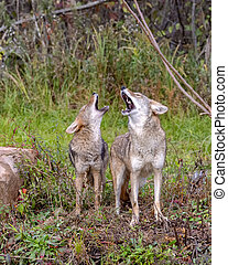 Two Coyotes Howling Together in the Woods