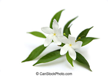Two crape Jasmine flowers of Apocynaceae family on white...