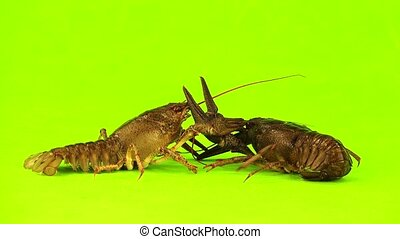 crawfish - two crawfish  on  green screen