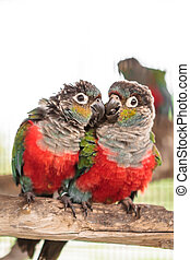 Two crimson bellied conure on perch