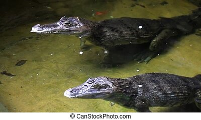Two crocodile stand near
