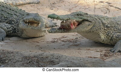 Two crocodiles with one piece of meat - Crocodile taking a...
