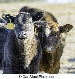 Two crossbred calves looking at camera lit from the right