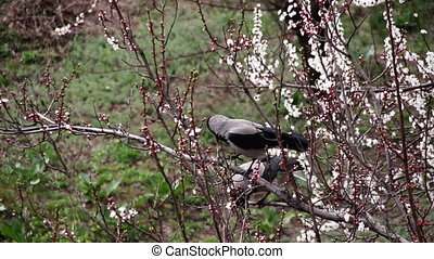 Two Crows are sitting on a Blossoming Apricot and Eat Blooming Flower