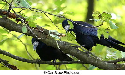 Two crows sit on a branch and clean their beaks in slo-mo