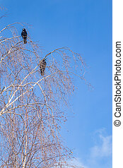 Two crows sit on the branches of a birch against the blue sky. landscape in early spring on a Sunny day