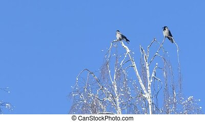 Two crows sitting on birch treetop - Two crows sitting on ...