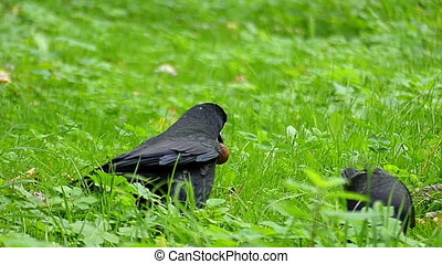 Two crows walk on a green lawn. One of them keeps a nut in slo-mo