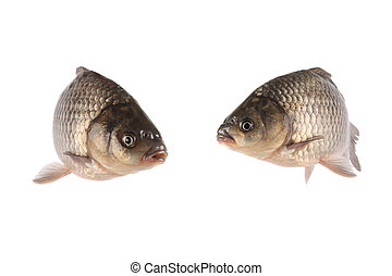 crucian carp  - two crucian carp swim in the water