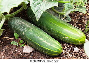 Two cucumbers laying on the ground fully grown.