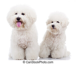two curious bichon frise puppy dogs