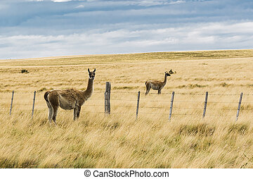 Two curious guanaco lamas in pampa