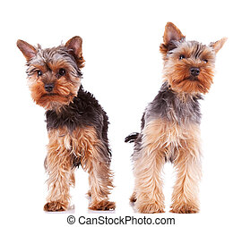 two curious little yorkshire puppy dogs standing