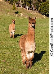 two curious suri alpacas standing in paddock