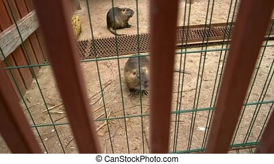Two cute beavers at breeding farm. Rodent with valuable fur....