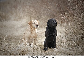 A black lab and a golden retriever sit together in a park in Hauser, Idaho.