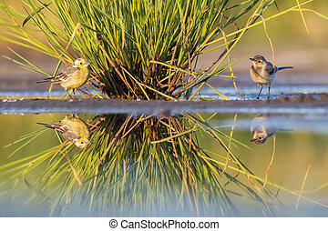 two cute birds with reflection in the water