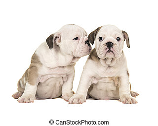 Two cute brown and white english bulldog puppy dogs sitting together one looking at the camera one looking at the other puppy like whispering in its ear isolated on a white background