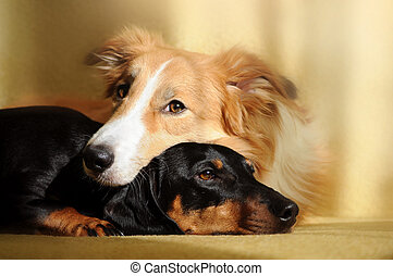Two cute dog dreaming - Cute dog border collie and dachshund...
