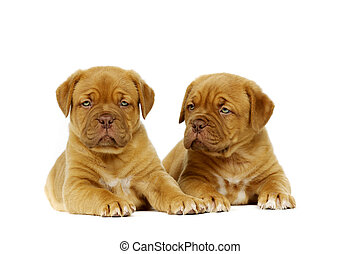 Two cute dogue de boudeux puppies laid next to each other isolated on a white background