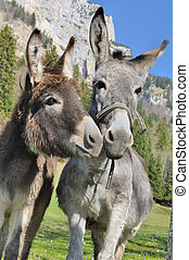 two cute donkeys - portrait of two lovely and funny donkeys ...