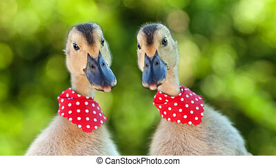 Two cute ducklings looking curiously at the camera